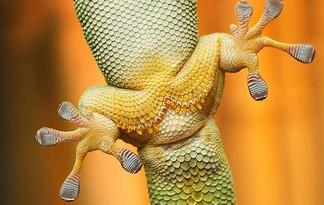 gecko-feet-540x380