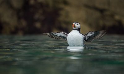 Incredibly rare shots of an Atlantic puffin were taken by photographer Sam Hobson on the Sony RX10 III, which features an extended 600mm super-telephoto zoom lens and silent shutter capability, to ensure the endangered animal was not disturbed
